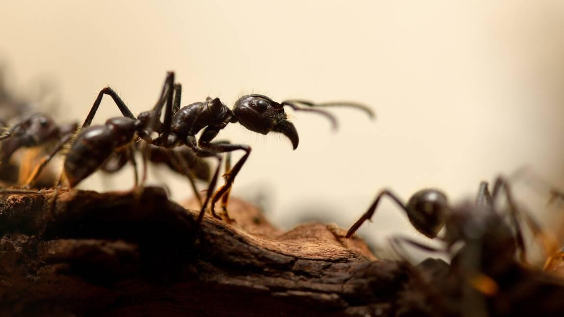 Les fourmis ont inventé l'agriculture des millions d'années avant les humains