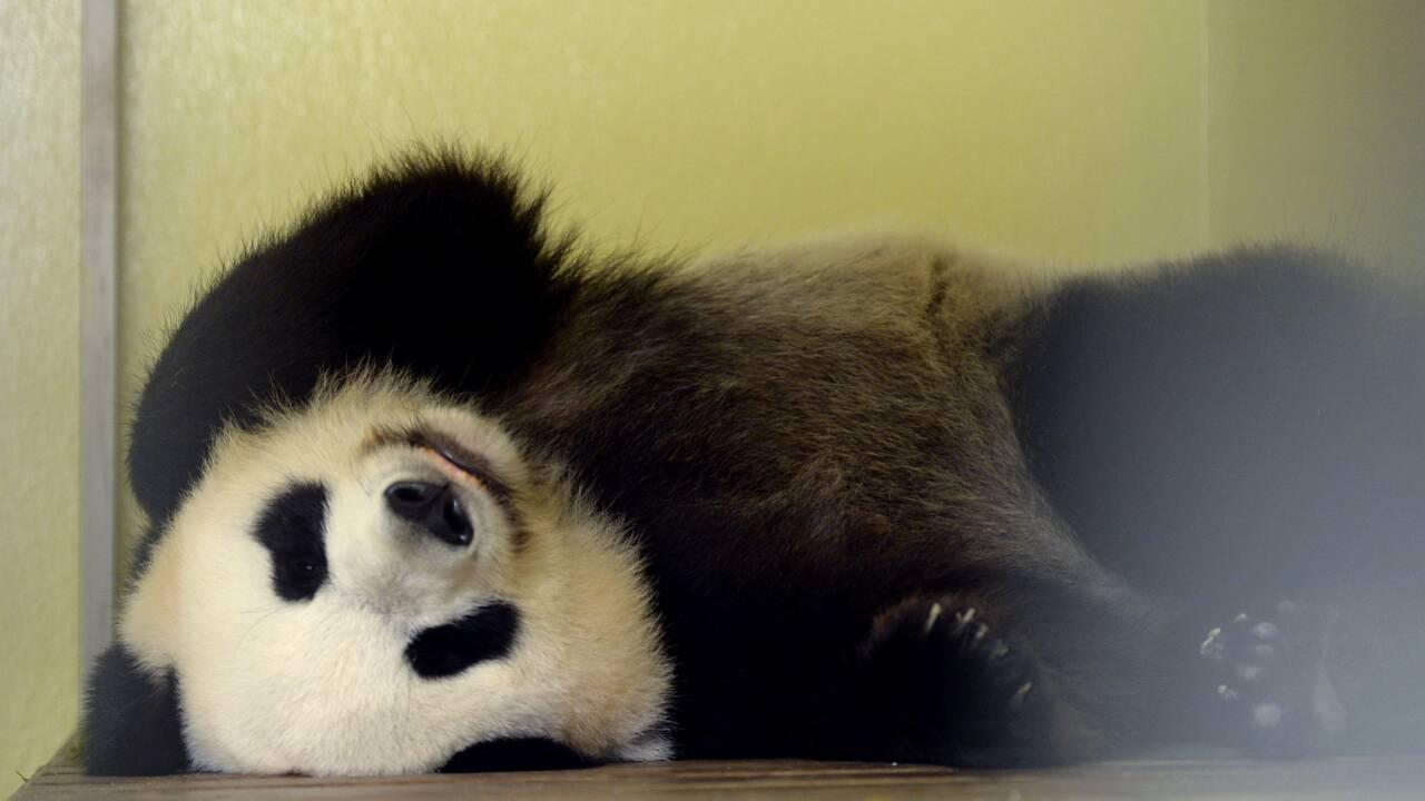 Zoo de Beauval: la femelle panda en gestation, une première en France