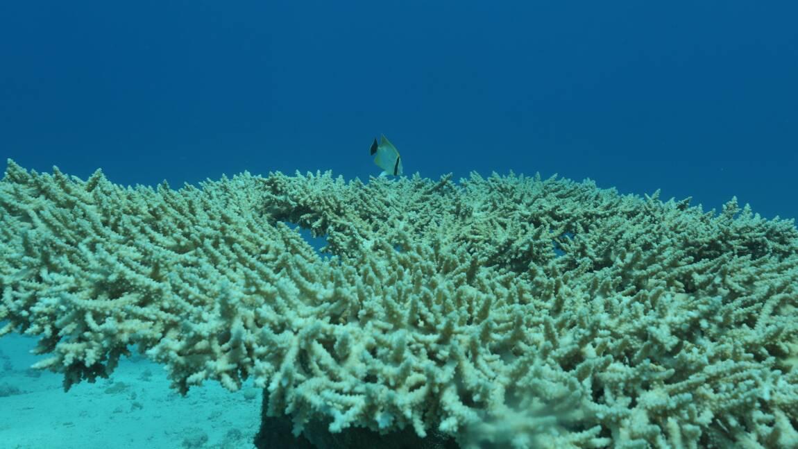 En Guadeloupe, la protection des coraux se perd dans les méandres de l'administration