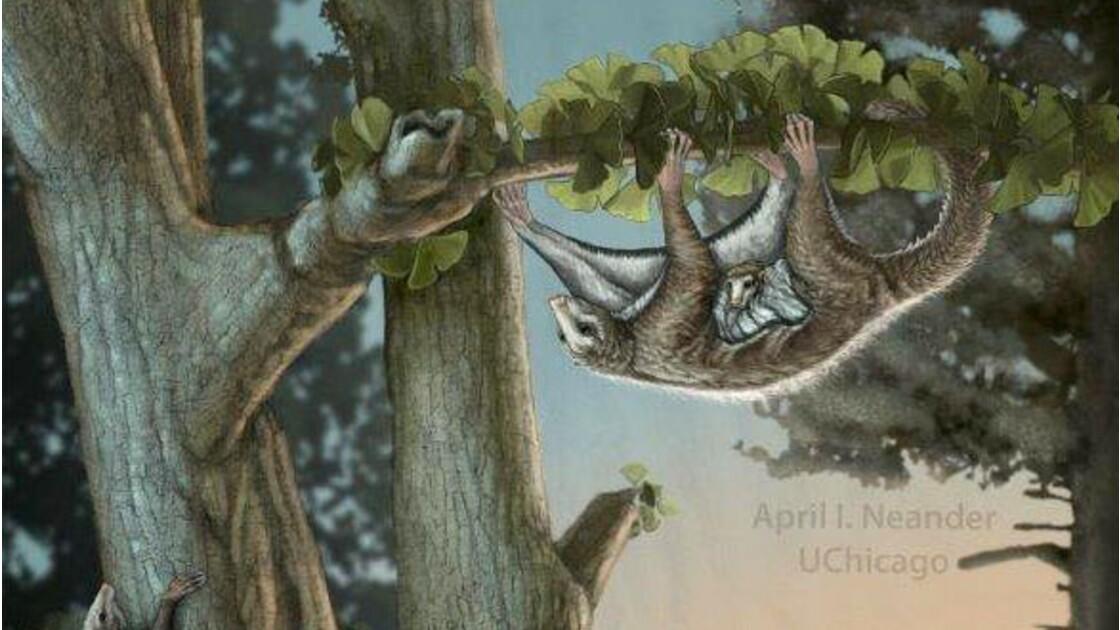 Des petits mammifères primitifs déjà capables de planer au Jurassique
