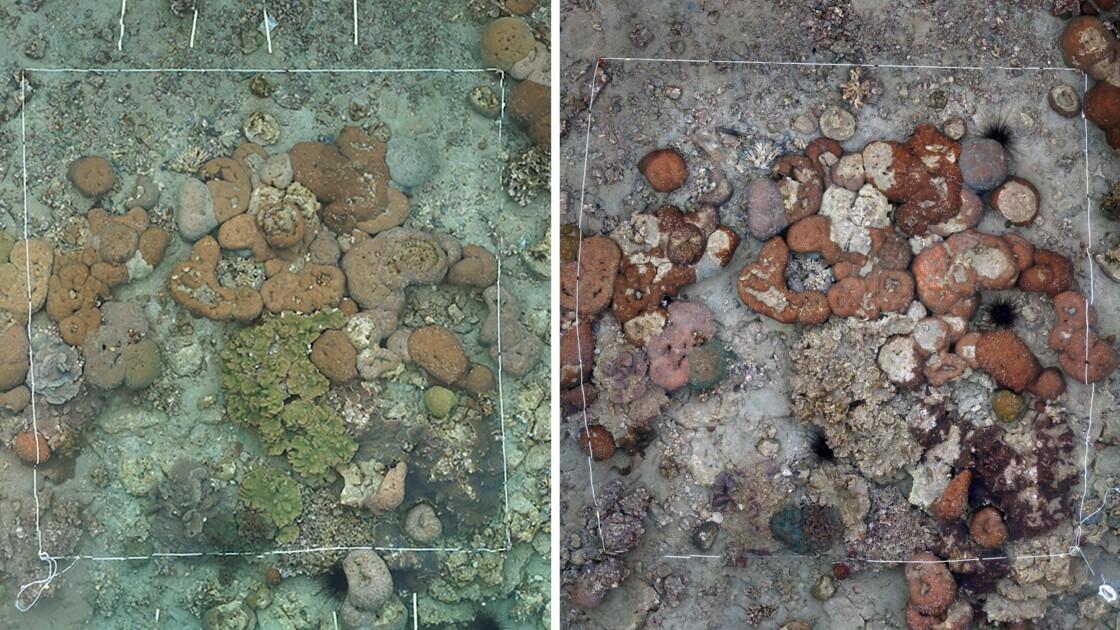 Japon: blanchissement des coraux les plus septentrionaux du monde
