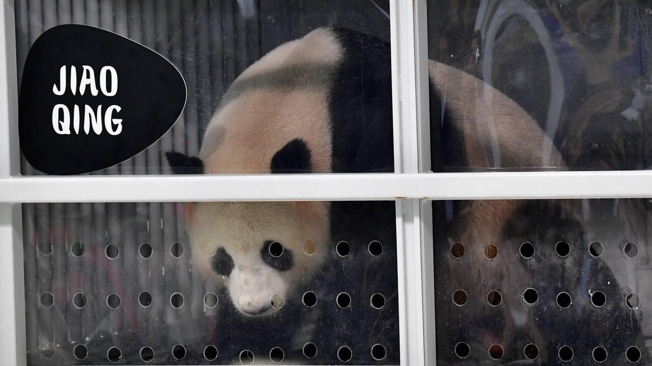 """Deux pandas """"ambassadeurs"""" de Chine arrivent à Berlin"""