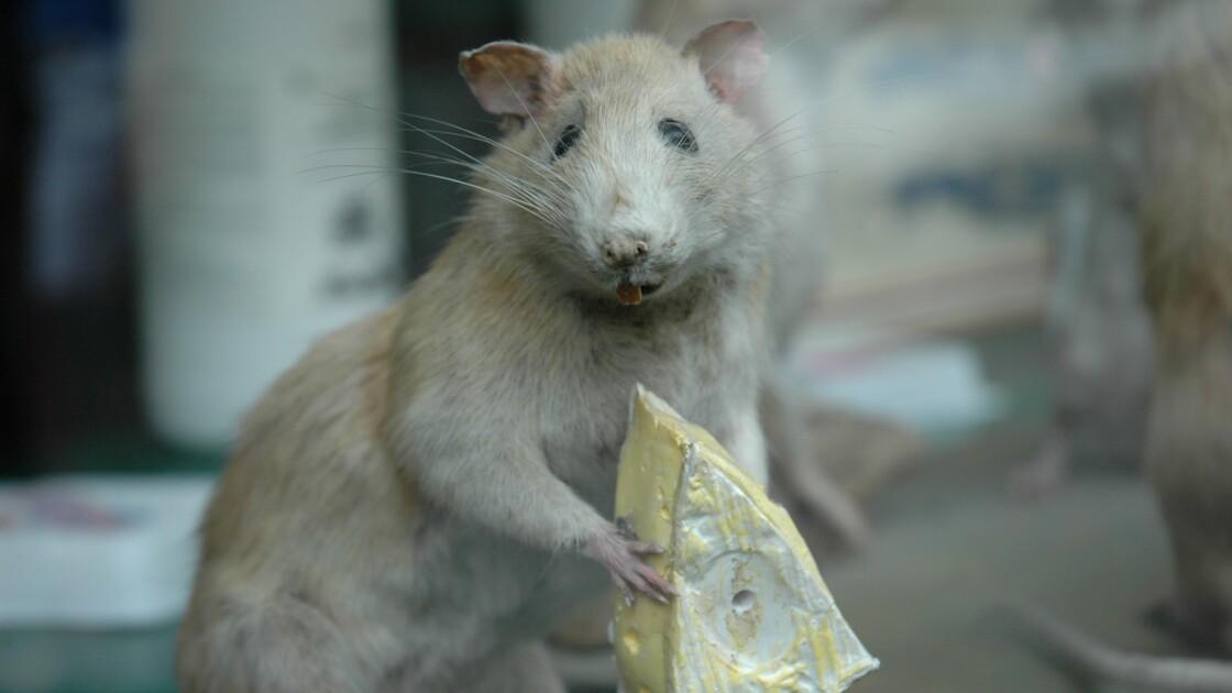 L'additif alimentaire E171 responsable de lésions pré-cancéreuses chez le rat