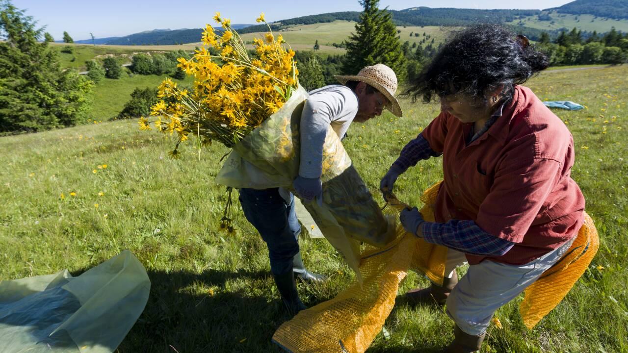 VIDÉO - Avec les cueilleurs d'arnica, or jaune des Vosges