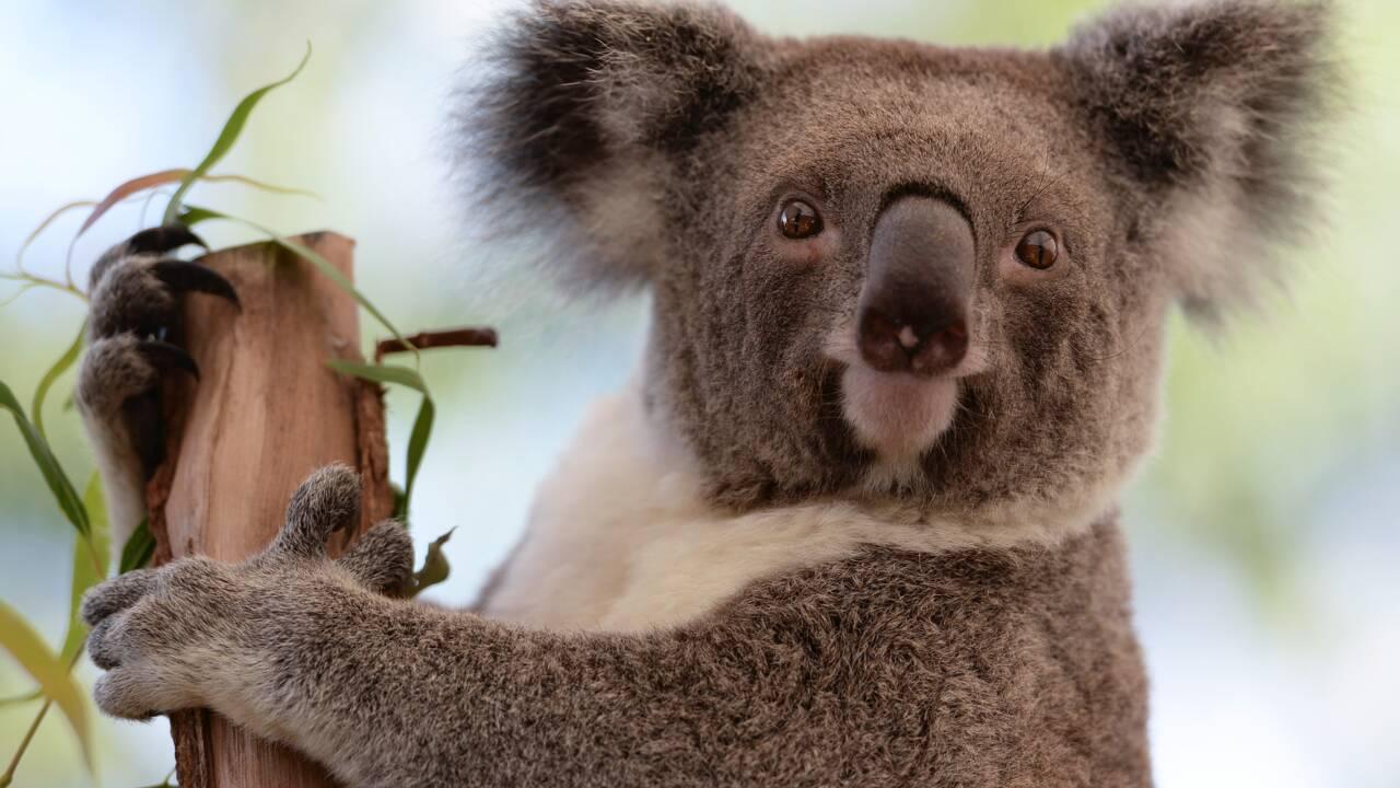 L'Australie promet des millions d'euros pour aider ses koalas