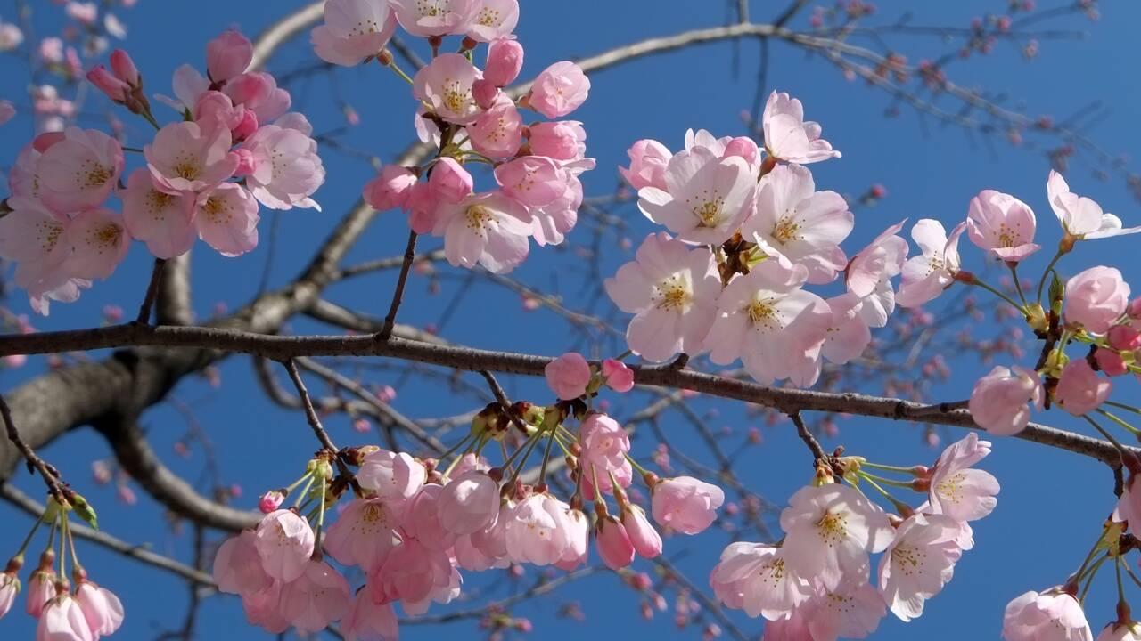 A Tokyo, des cerisiers en fleurs sonnent l'arrivée du printemps