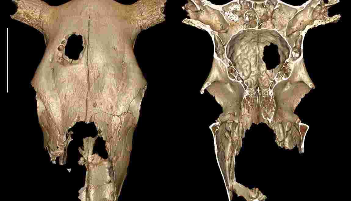 Un bovin trépané par l'homme il y a plus de 5000 ans