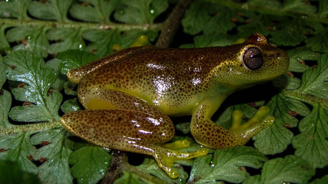 Une nouvelle espèce de grenouille découverte à la frontière Venezuela-Colombie