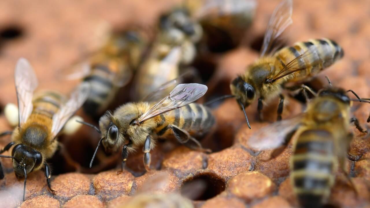 Néonicotinoïdes interdits : les abeilles ne sont pas sauvées pour autant