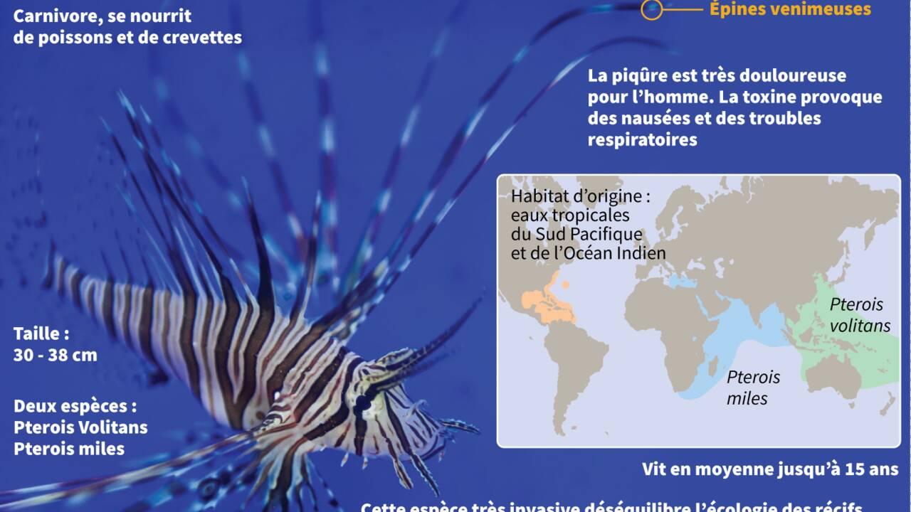 Wanted! Poissons-ballons et poissons-lapins menacent la Méditerranée
