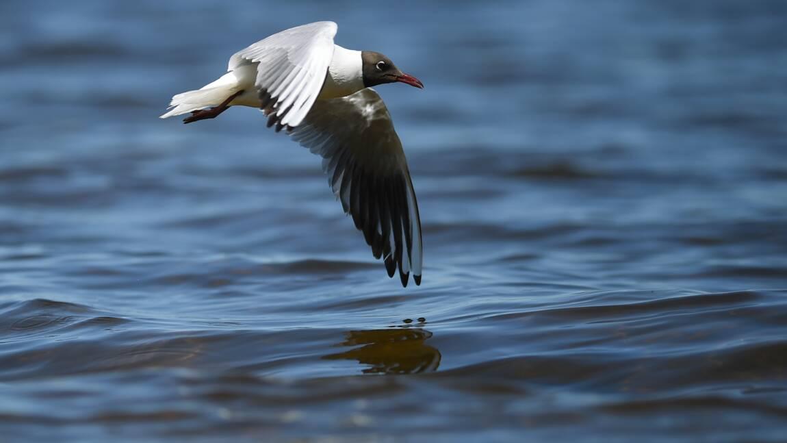Les oiseaux de mer s'orientent notamment à l'odorat, confirme une étude