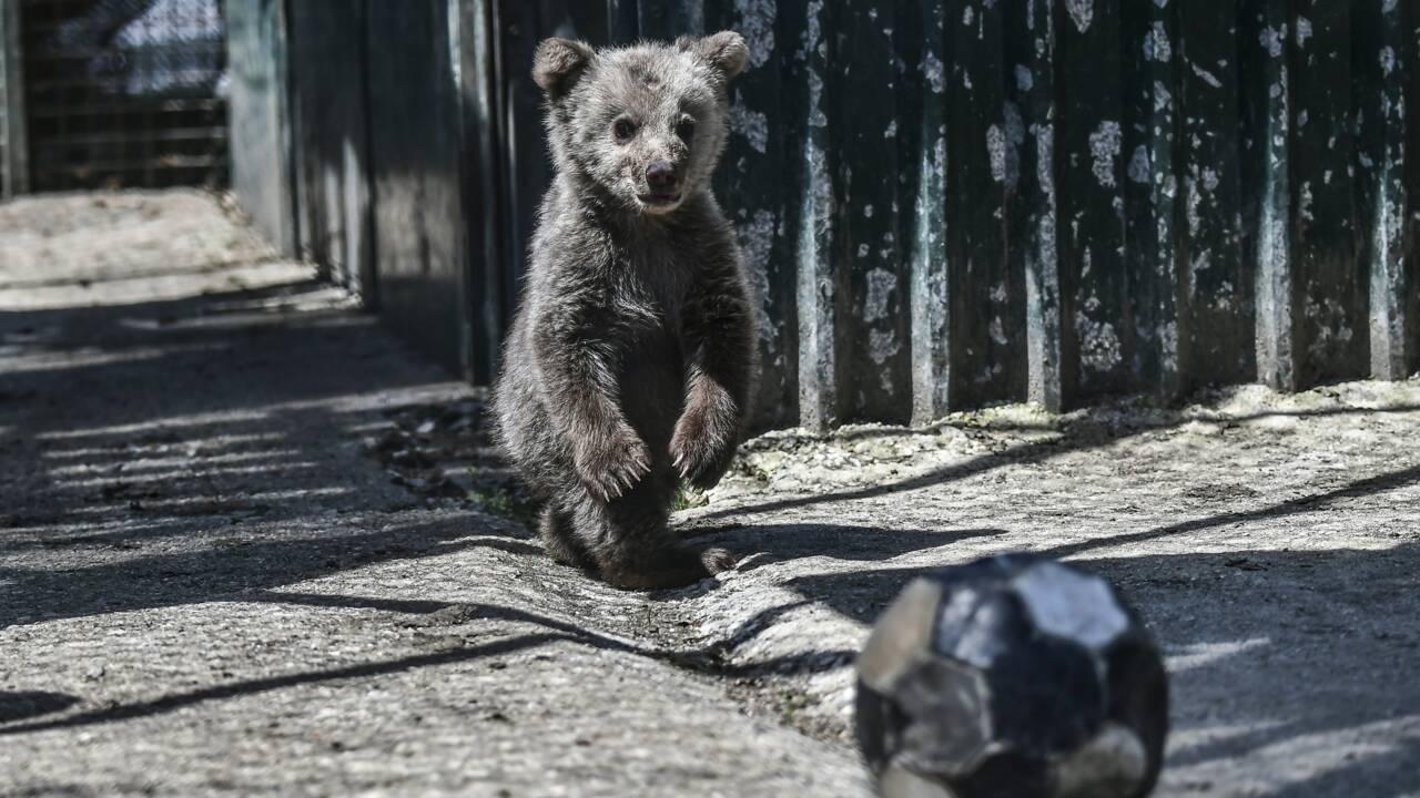 Dans le nord de la Grèce, un refuge pour ours et loups traumatisés