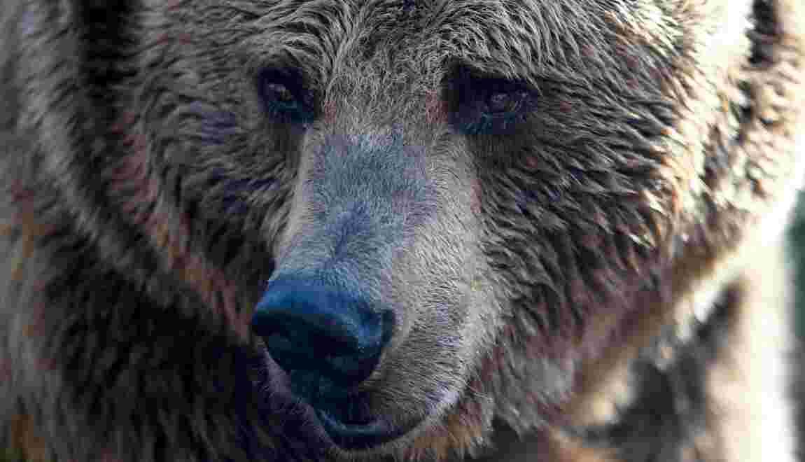 USA: un campeur se réveille la tête dans la gueule d'un ours