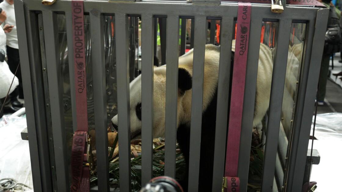 Deux pandas géants chinois envoyés en Indonésie