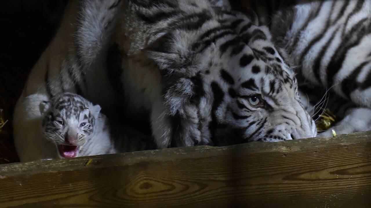 VIDÉO - Un rhinocéros blanc et trois tigres blancs sont nés au zoo d'Amnéville