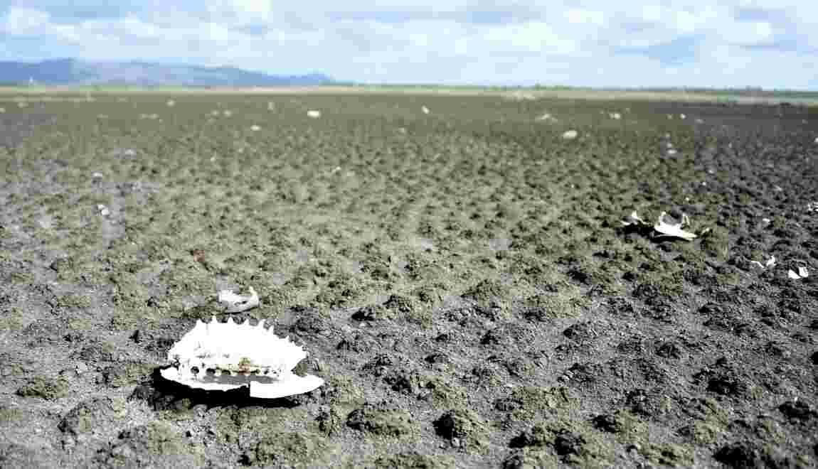 Brésil: quand un lac artificiel devient un cimetière de tortues