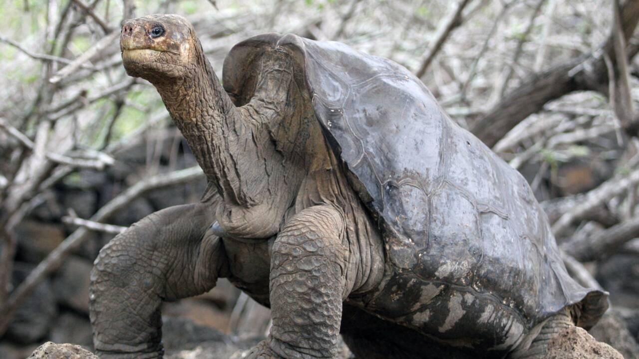 Equateur: retour aux Galapagos de la tortue George, empaillée