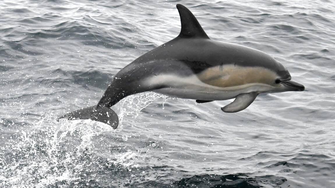 Prises accidentelles de dauphins: les pêcheurs bretons contre une interdiction de pêche