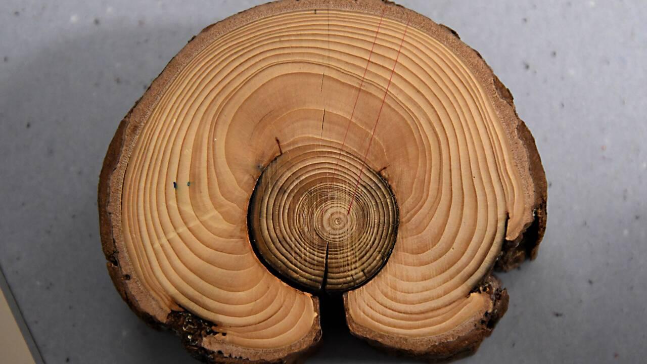 Quand des arbres séculaires retracent l'histoire des avalanches