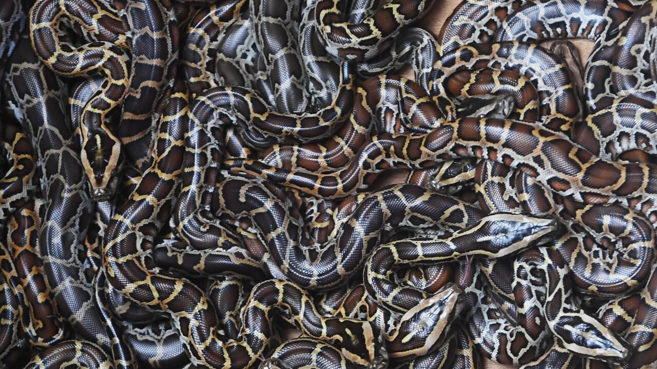 Pythons, lion empaillé, crânes de babouins: 30.000 animaux sauvages, victimes de trafics, interceptés