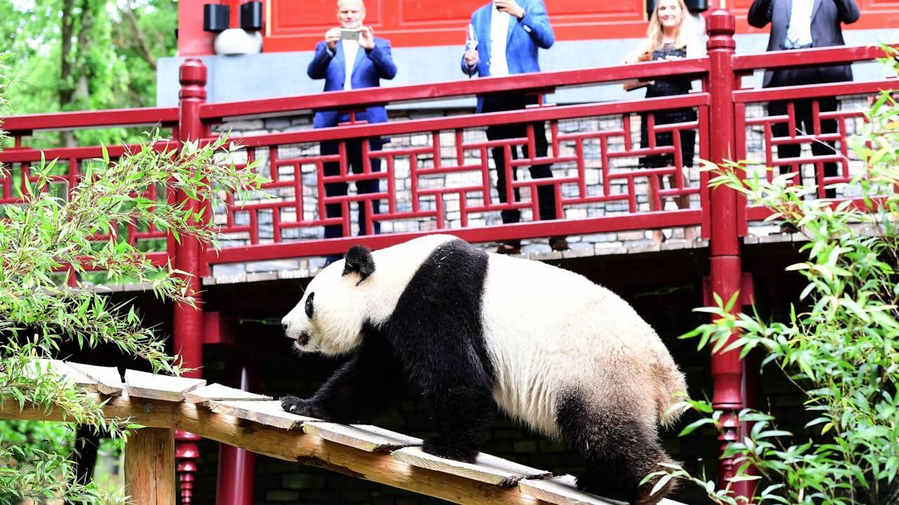 Deux pandas géants font leurs premiers pas aux Pays-Bas