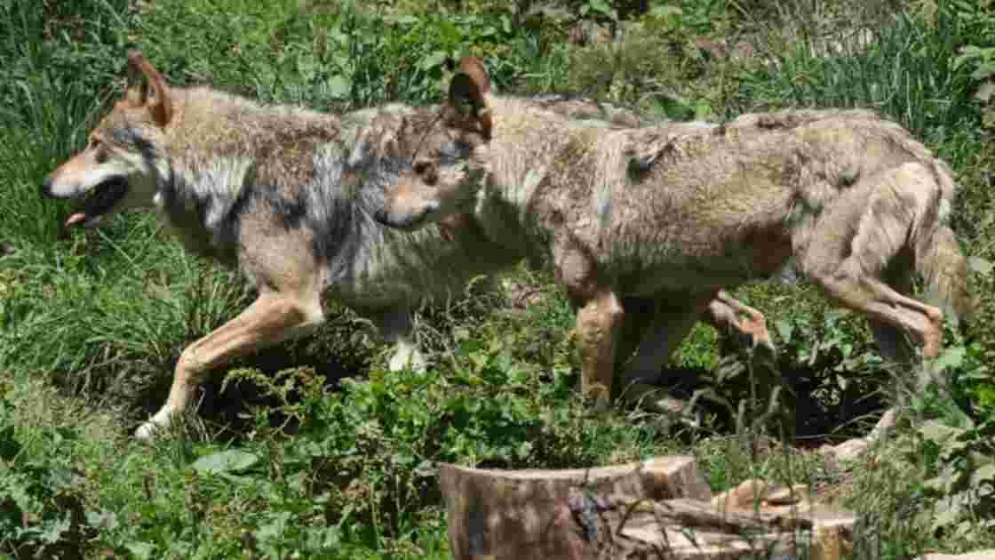 La Finlande maintient l'abattage ciblé des loups, contre le braconnage