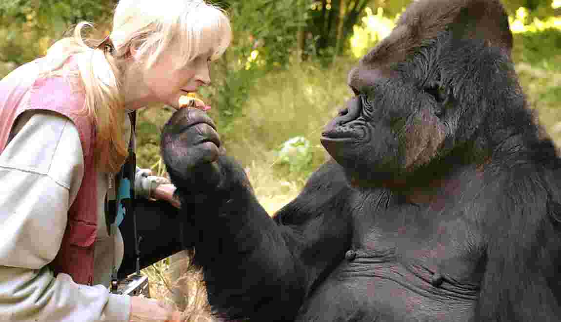 Mort de Koko, le gorille qui parlait le langage des signes