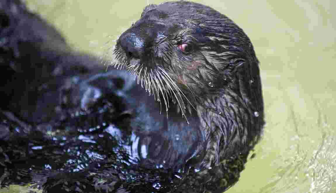 Les loutres de mer, des mammifères très sociables et joueurs