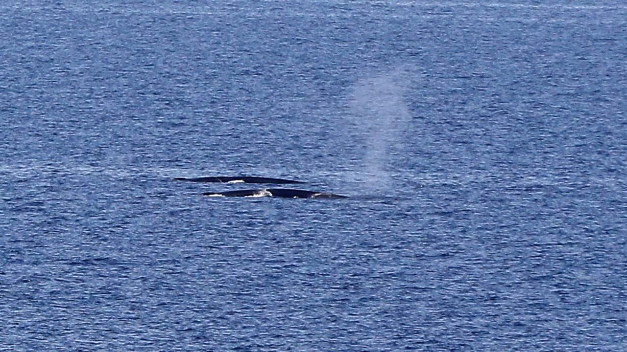 Le Canada limite la pêche au crabe pour sauver les baleines noires