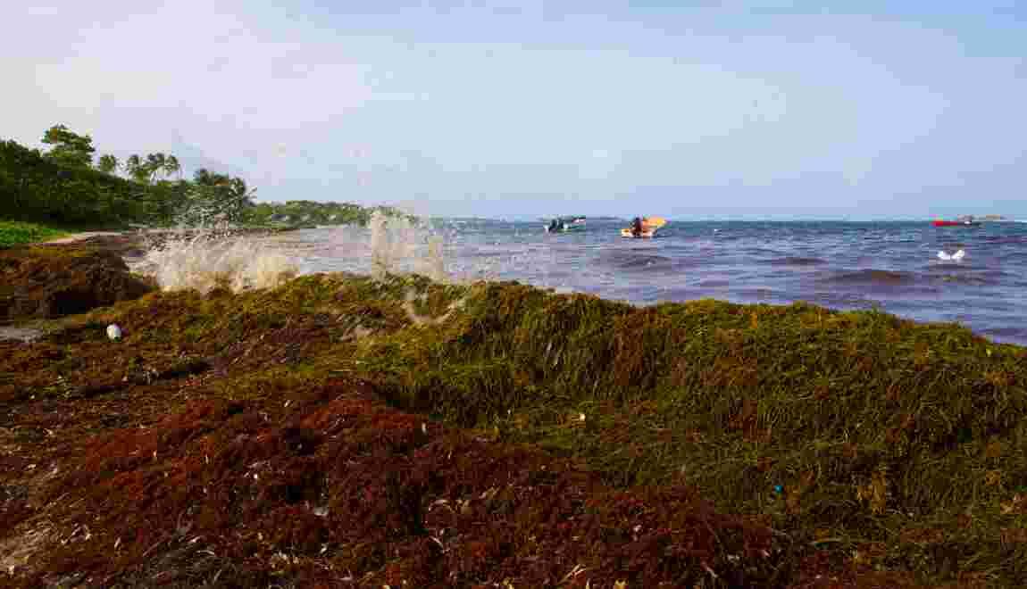 Sargasses: le préfet de Martinique veut accélérer le ramassage