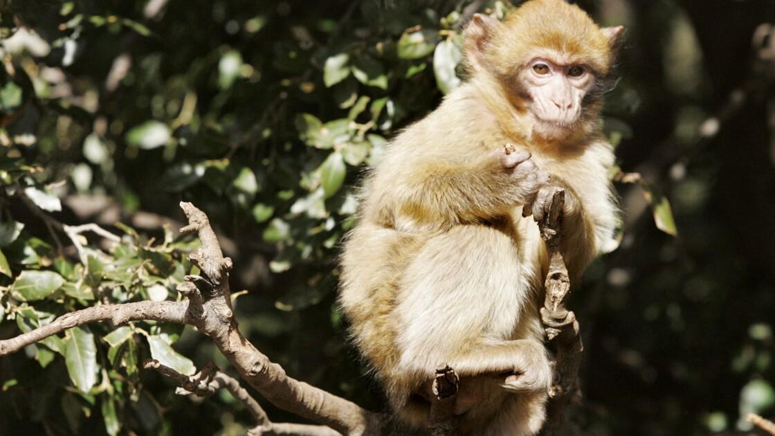 Landes: 150 macaques euthanasiés après la fermeture d'un parc animalier