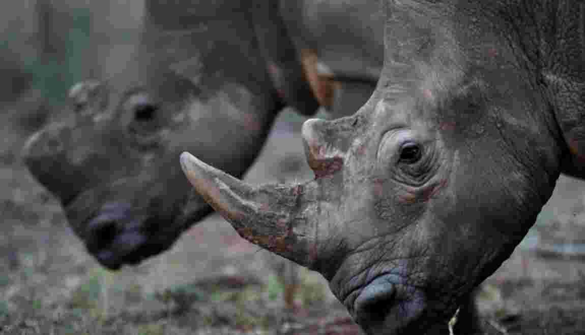 Afrique du Sud: début de la première vente aux enchères en ligne de cornes de rhinocéros
