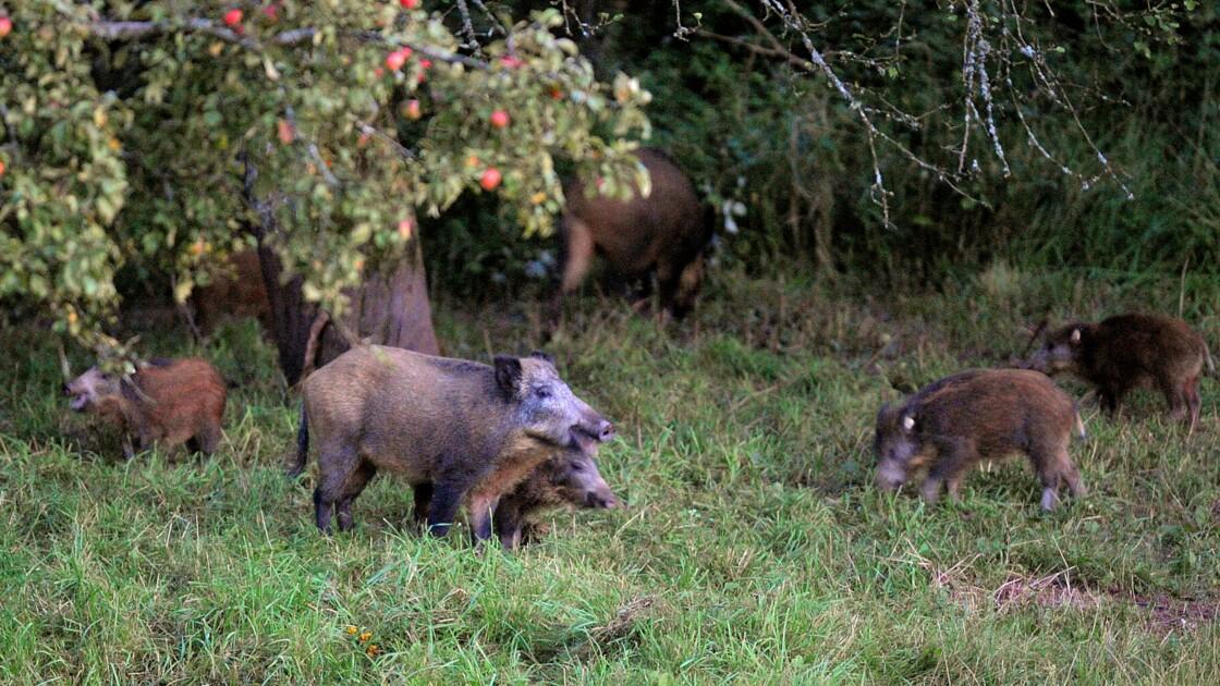Trop de sangliers pour la FNSEA, qui critique les chasseurs