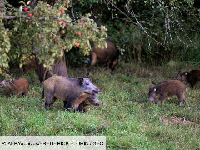 Les sangliers, pomme de discorde entre agriculteurs et chasseurs