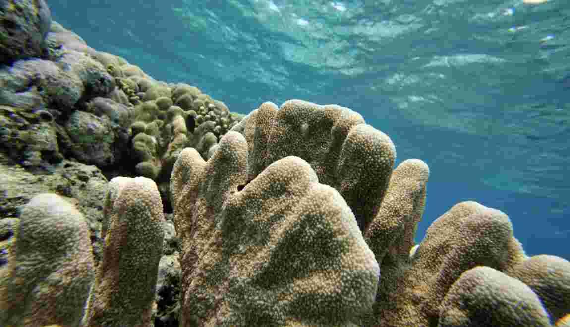 La France veut protéger les coraux des produits chimiques toxiques