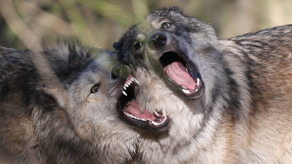 Davantage de loups pourront être abattus, promet Macron