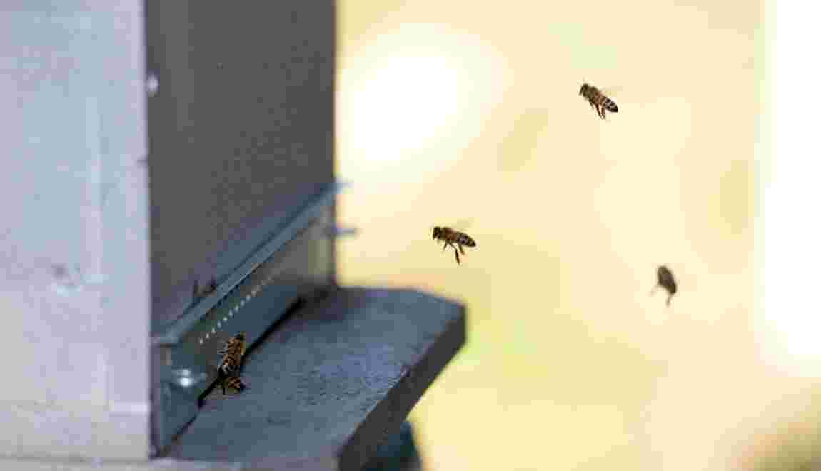 La santé des abeilles sous l'oeil du microscope à Sophia Antipolis