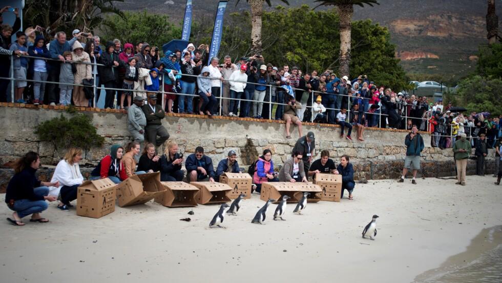 Climat et surpêche accélèrent l'extinction des manchots du Cap