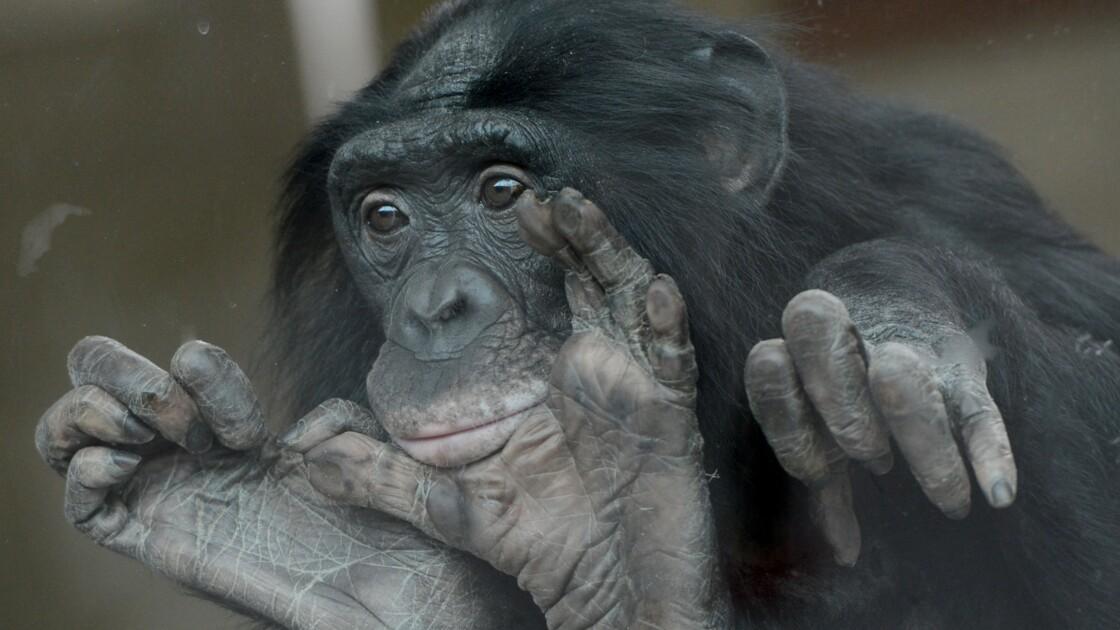 A l'inverse de l'homme, le bonobo préfère les dominateurs aux doux gentils