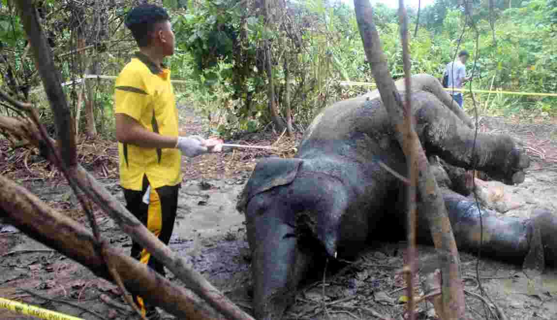 Indonésie: une éléphante qui attendait un petit meurt empoisonnée