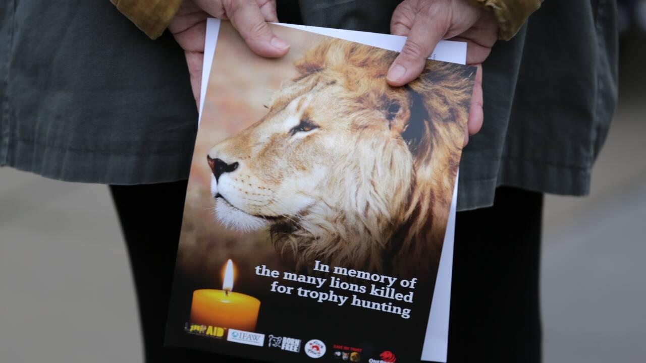 Zimbabwe: les lions sous la menace directe de l'homme