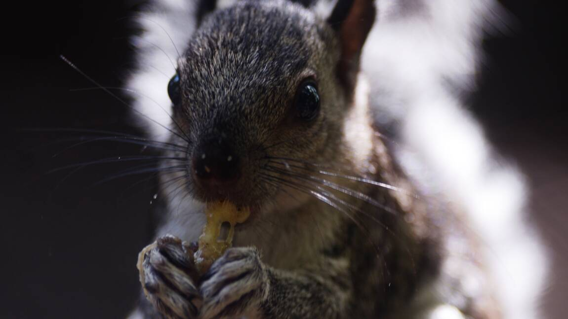 Royaume-Uni: les écureuils gris dans le collimateur du gouvernement