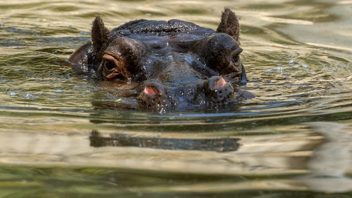 Le Niger crée un sanctuaire d'hippopotames