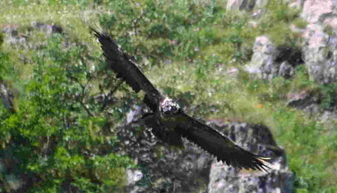 Alpes: duel à mort de gypaètes barbus en période de couvaison