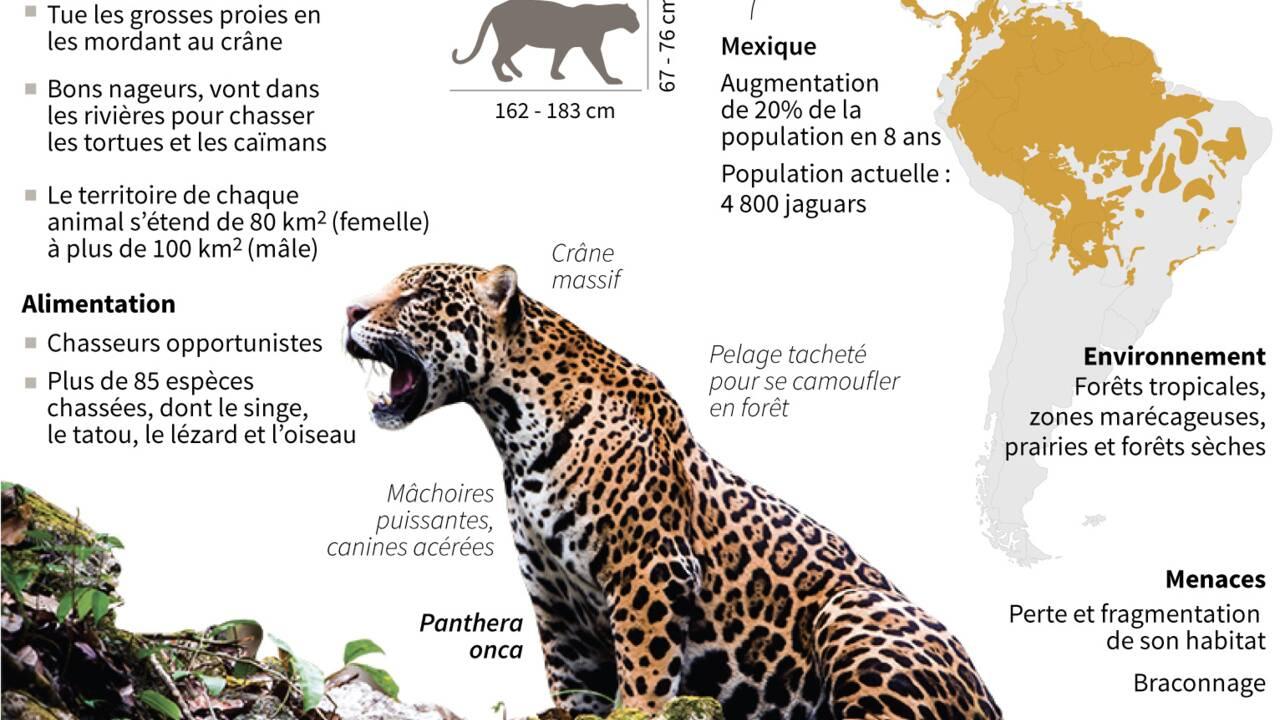 En Bolivie, les canines de jaguars font saliver les Chinois