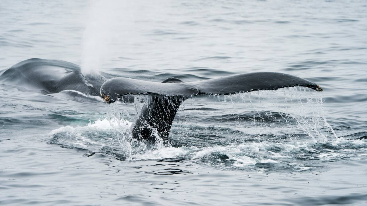 Le Japon souhaite reprendre la chasse commerciale à la baleine