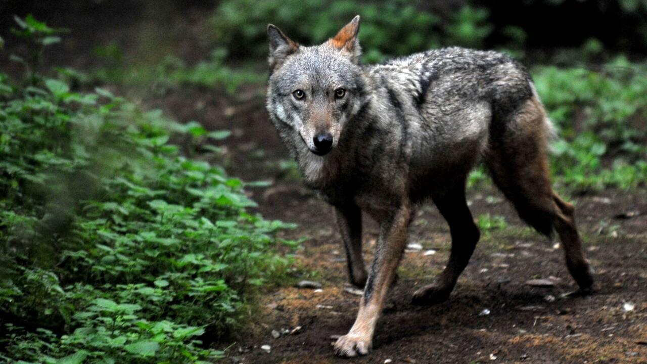 Le loup à la reconquête de l'Europe