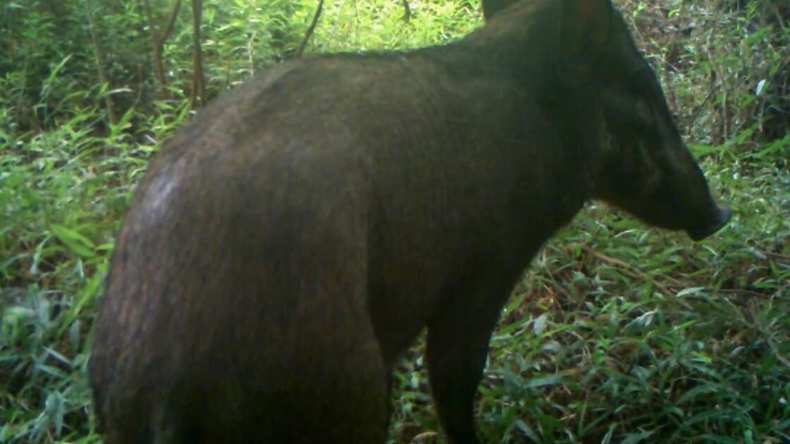 """""""Le cochon le plus laid au monde"""" aperçu en Indonésie"""