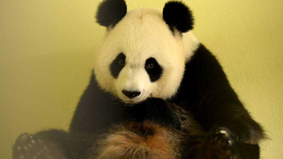 Zoo de Beauval: pour la première fois, une femelle panda en gestation en France