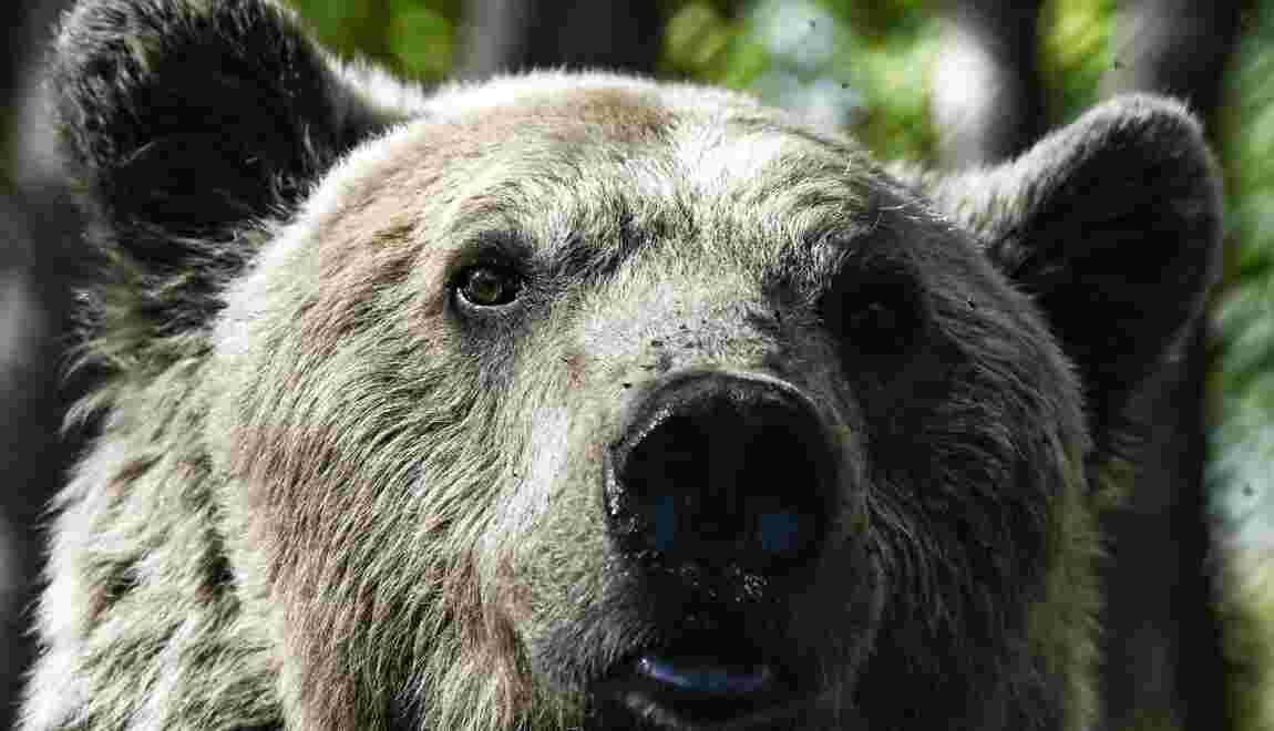 L'Etat a défini son plan ours pour 2018-28